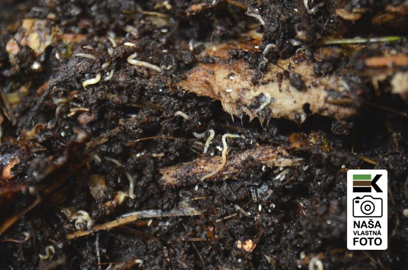 Potworms, rupice, grindal, biele cerviky, mladatka dazdoviek