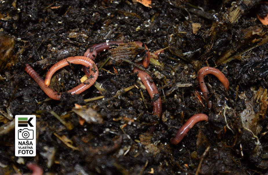 Vermikompostovanie a kalifornské dážďovky