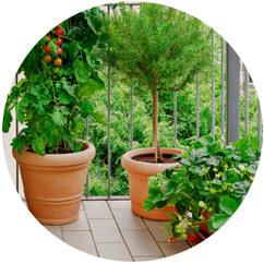 Balkónové rastlinky - paradajky, jahody