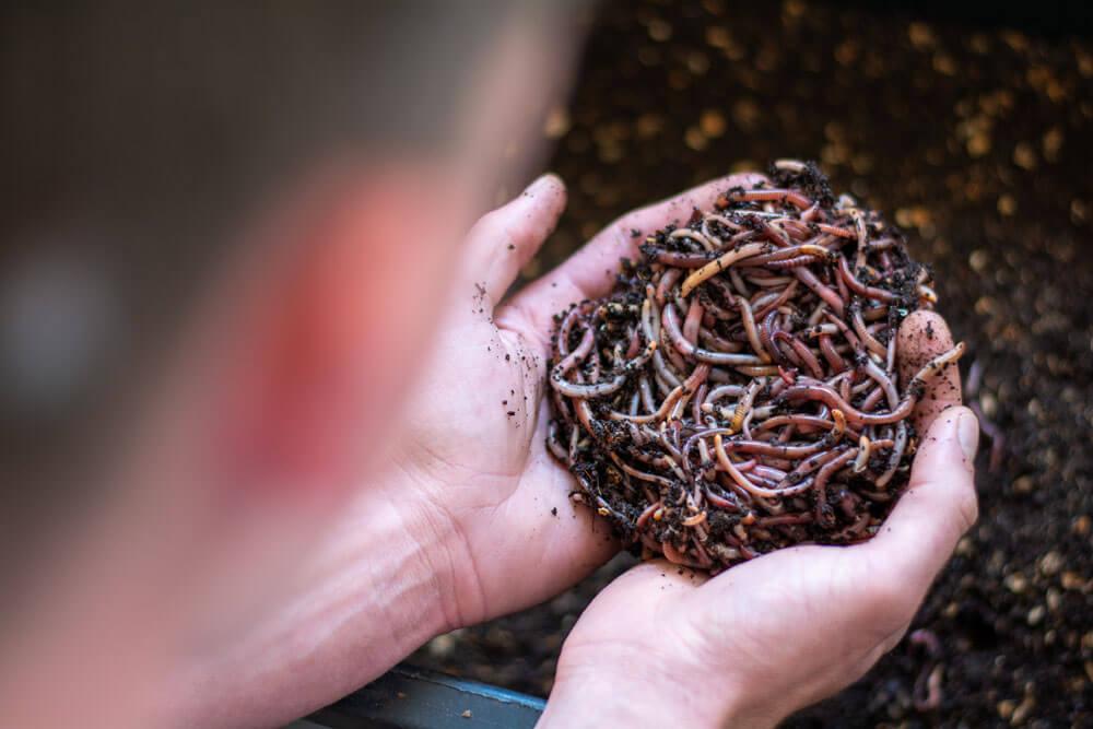 Dážďovky do kompostu v rukách Michala Vavríka z OZ Kompostujme